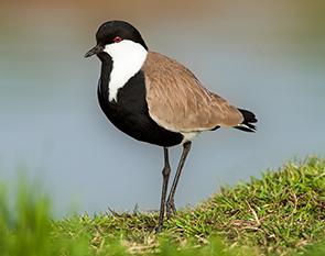 'מלח הארץ' בשיתוף עם החברה להגנת הטבע במהלך נרחב לשימור אוכלוסיית עופות המים