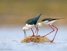 עופות מים - תמירון ארוך רגליים