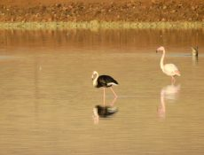 black flamingo israel