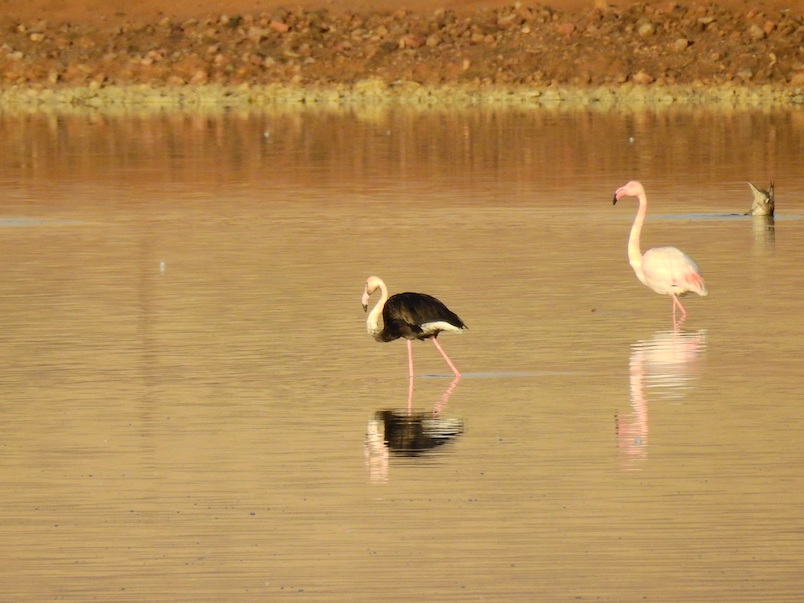 black flamingo israel